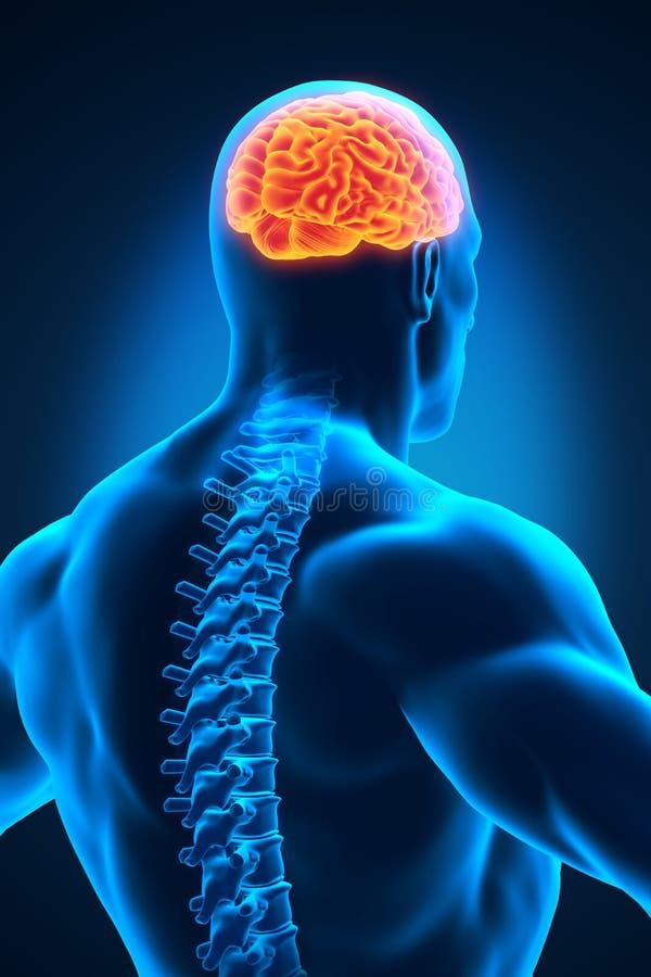 Rdzenia Kręgowego i mózg anatomia ilustracja wektor
