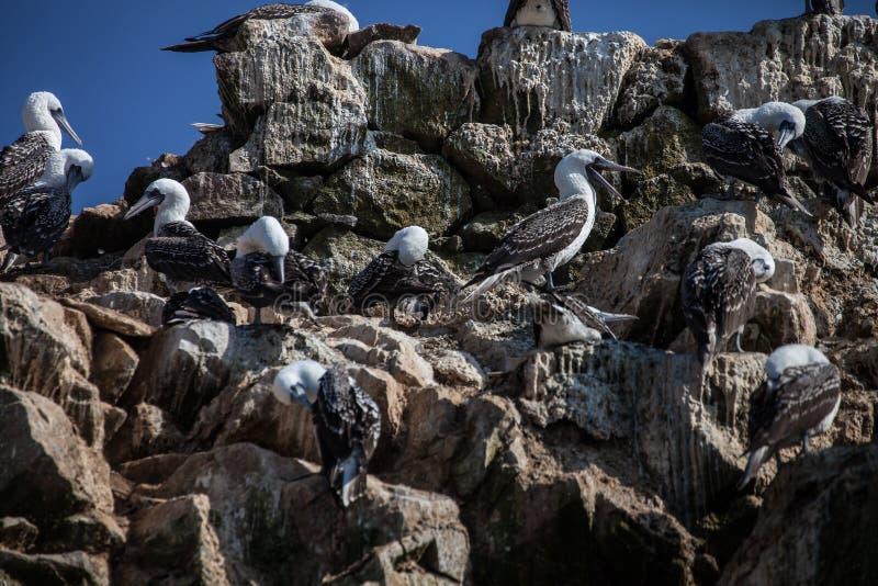 reúna al bobo peruano, variegata del Sula, un isla de Balesate, Perú de la roca foto de archivo libre de regalías