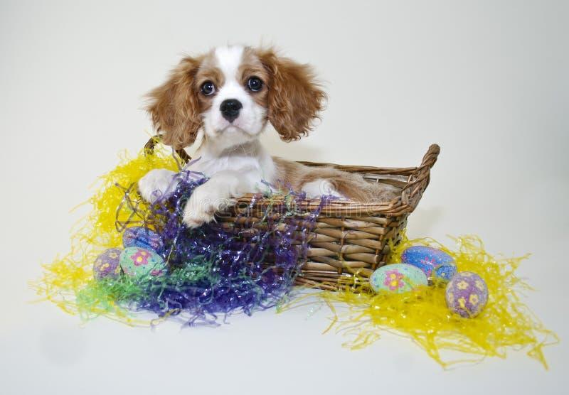 Re Cavalier Puppy in un cestino di Pasqua immagine stock