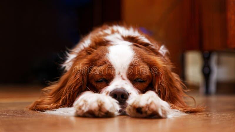 Re Charles Spaniel del cane che si trova sul fare un sonnellino del pavimento immagine stock libera da diritti