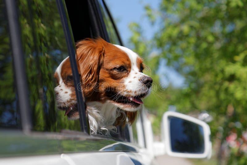 Re Charles Spaniel nella finestra di automobile fotografia stock