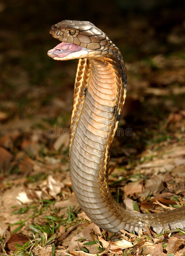 Re Cobra fotografia stock