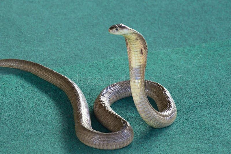 Re Cobra immagini stock