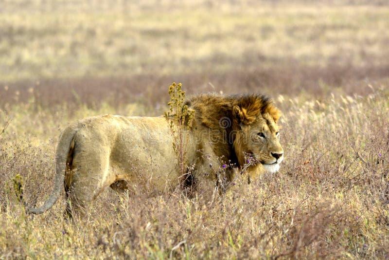 Re degli animali, leone nel suo ambiente naturale fotografie stock libere da diritti