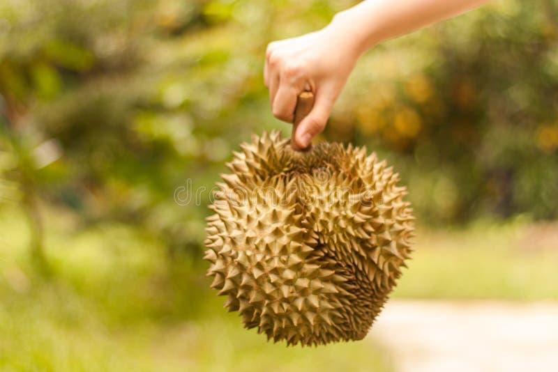 Re dei frutti, Durian fresco è tenuta nella mano umana con boke immagine stock libera da diritti