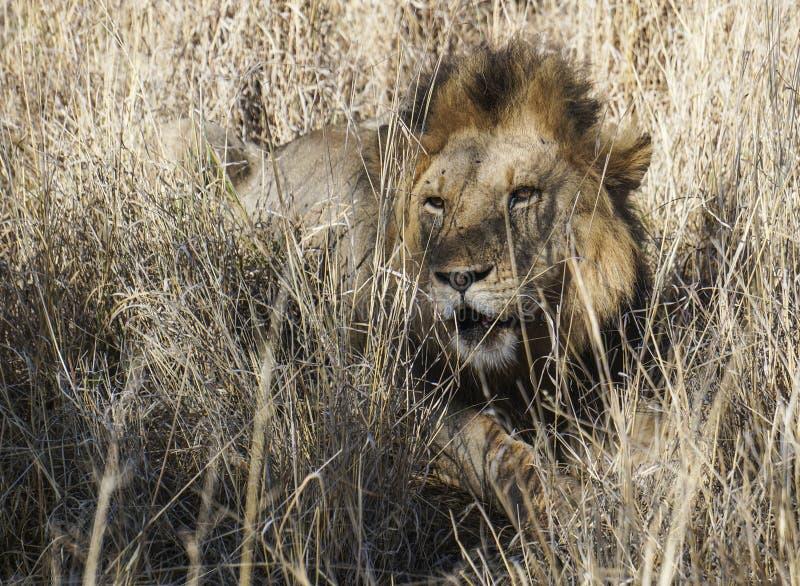 Re dei resti maschii del leone delle bestie alla luce pezzata fotografia stock libera da diritti