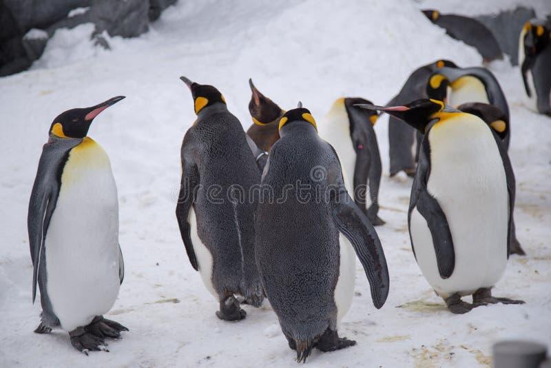 Re del pinguino di imperatore delle specie dei pinguini fotografie stock libere da diritti