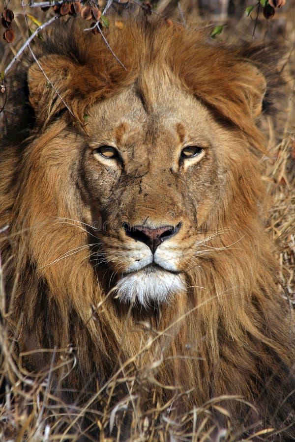 Download Re dell'Africa fotografia stock. Immagine di safari, grande - 7323502