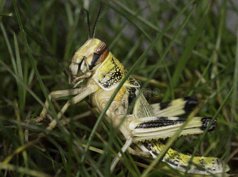 Re Grass Hopper immagine stock