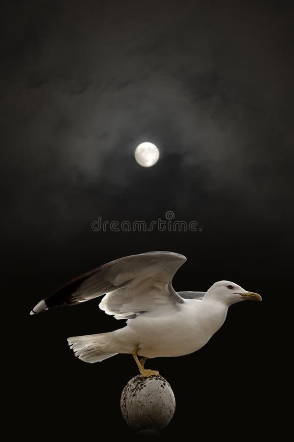 Re Of Gulls fotografia stock libera da diritti