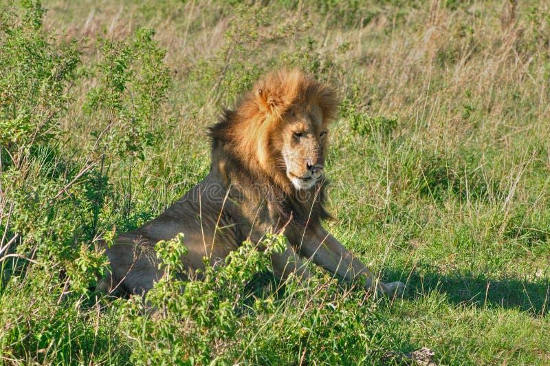 Re Lion fotografie stock