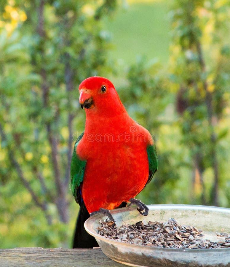 Re Parrot in Drouin Victoria Australia fotografia stock