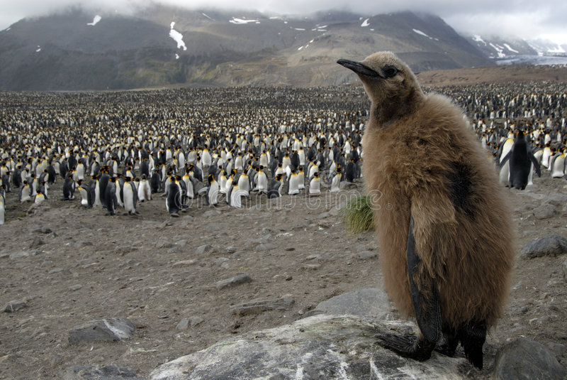 Re Penguin fotografie stock libere da diritti