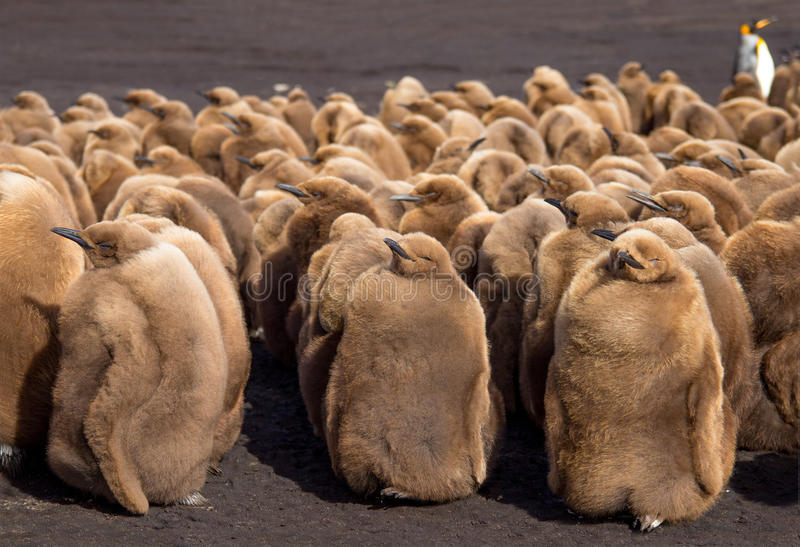 Re Penguin Chicks in asilo nido a punto volontario immagini stock libere da diritti