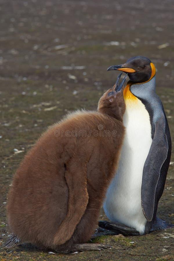 Re Penguin e pulcino affamato - Falkland Islands immagine stock