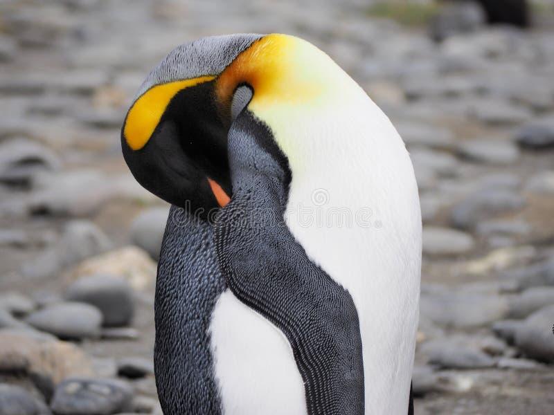 Re Penguin in Georgia Antarctica del sud immagine stock libera da diritti