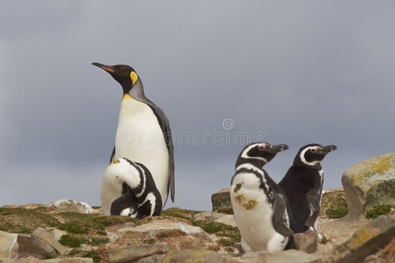Re Penguin - isole Falkalnd fotografia stock