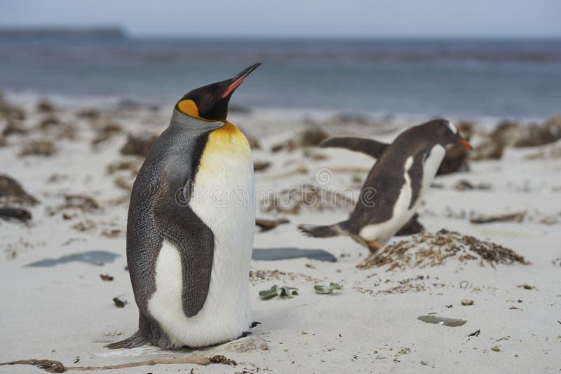 Re Penguin sul mare Lion Island immagine stock libera da diritti