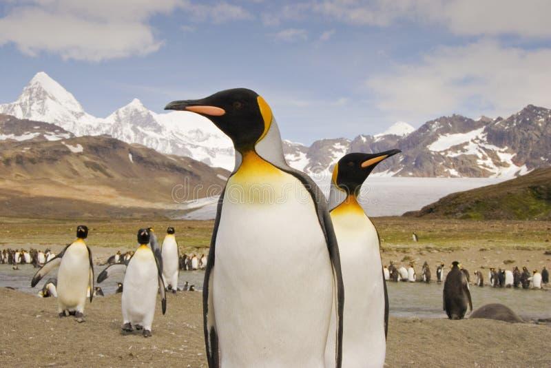 Re Penguin sulla Georgia del sud fotografie stock