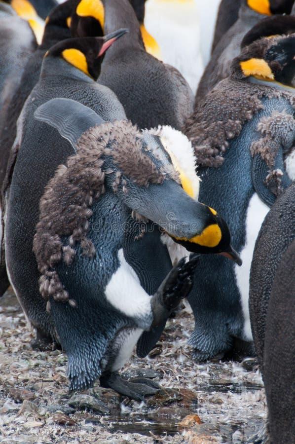 Re Penguins alla baia di Fortuna fotografia stock libera da diritti