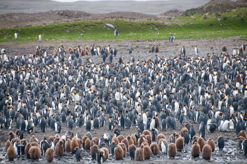 Re Penguins alla baia di Fortuna fotografie stock