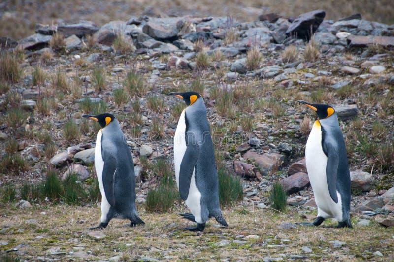 Re Penguins alla baia di Fortuna immagini stock libere da diritti