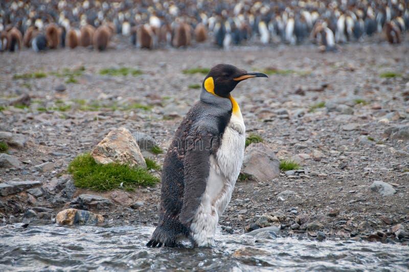 Re Penguins alla baia di Fortuna fotografie stock libere da diritti