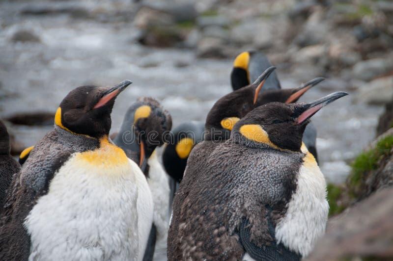 Re Penguins alla baia di Fortuna immagini stock