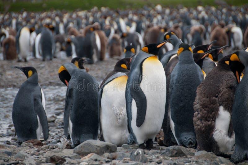 Re Penguins alla baia di Fortuna fotografia stock