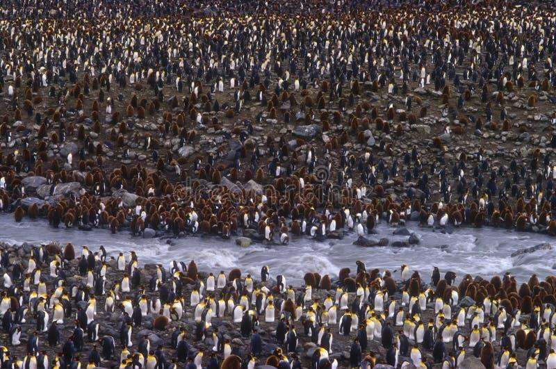 Re Penguins, baia della st Andrews, Georgia del sud fotografia stock libera da diritti