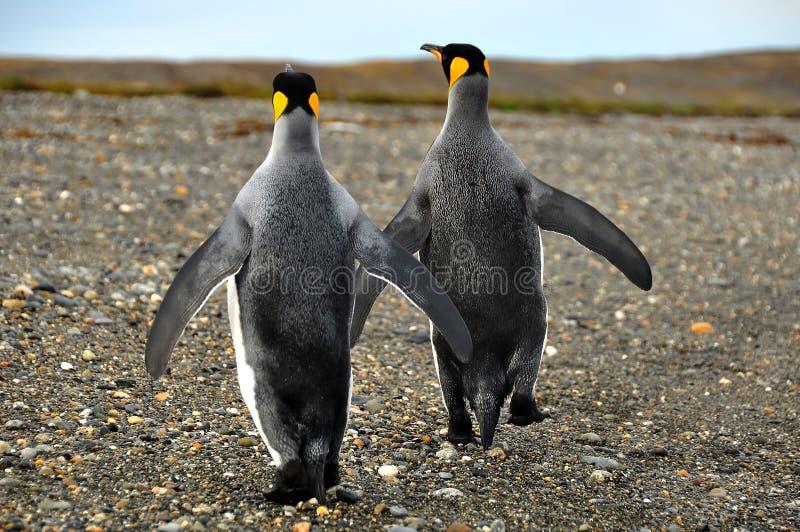 Re Penguins nel Sudamerica immagini stock libere da diritti