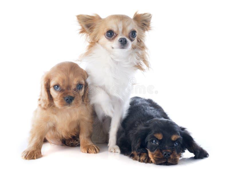 Re sprezzante charles e chihuahua dei cuccioli fotografia stock