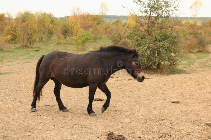 European Wild Horse, Milovice, Czechia royalty free stock photos