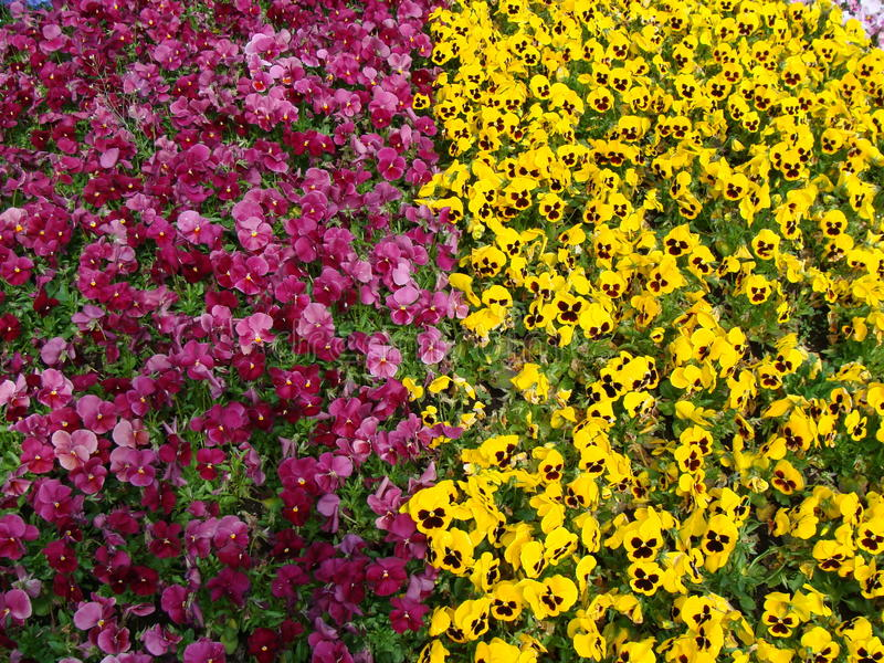 Rea e flores amarelas no en do  do ri KÅ do  de ÅŒdÅ foto de stock royalty free