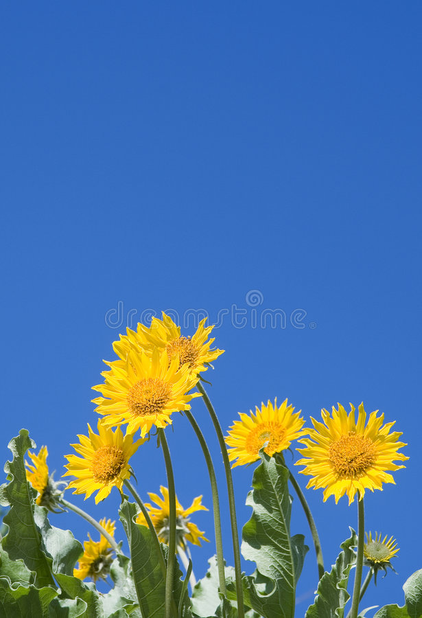 Reach for the sky. Yellow flowers against blue sky royalty free stock images