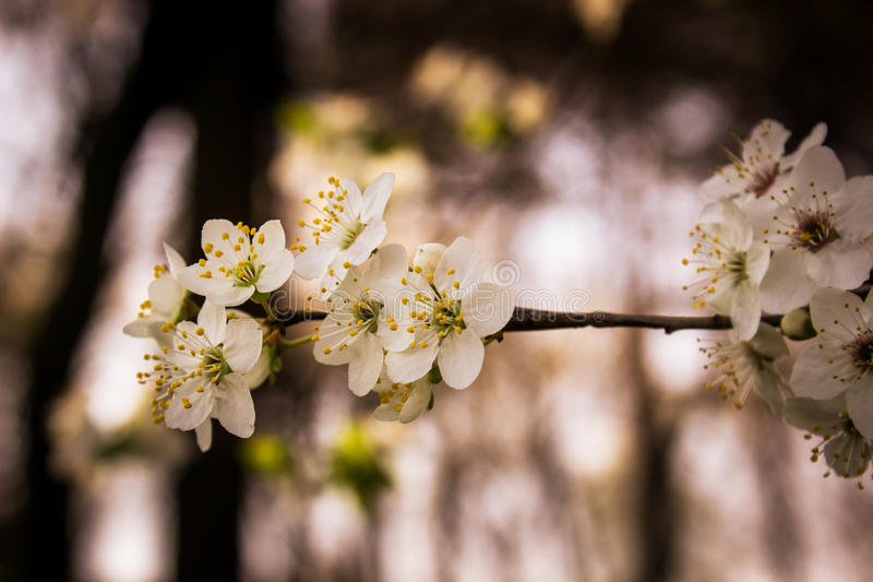 Reaching for the light. Blossomed wild plum branch reaching for the light in woods royalty free stock photography