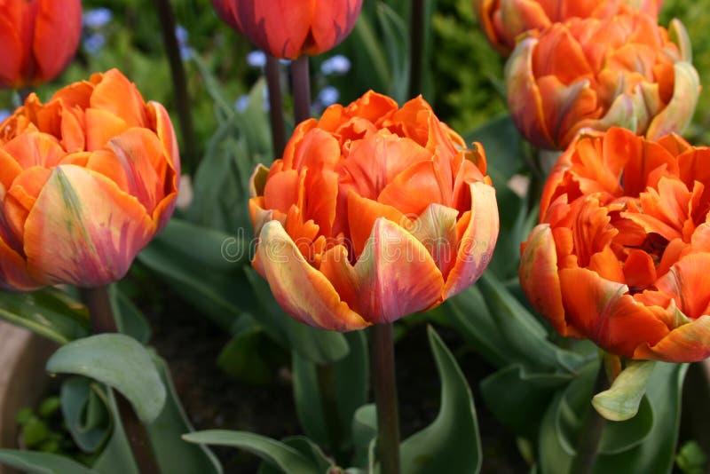 Read orange tulips royalty free stock image
