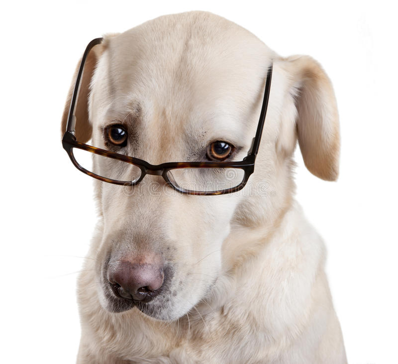 Reading Glasses Funny Dog. A Labrador dog wearing reading glasses isolated on white