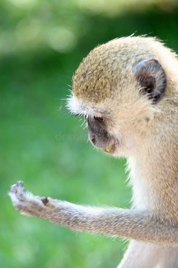 Reading Monkey stock images