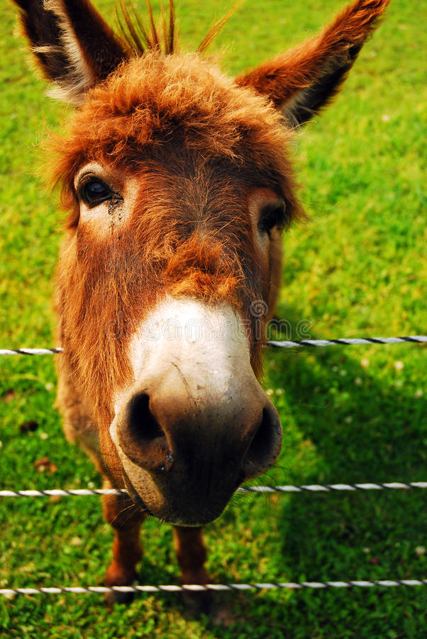 Ready for my closeup. A Donkey Shows a Face that Only a Mother Could Love royalty free stock photography