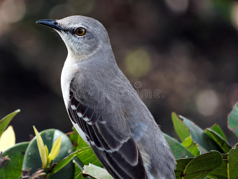 download closeup florida state bird northern mockingbird stock image image 37475647