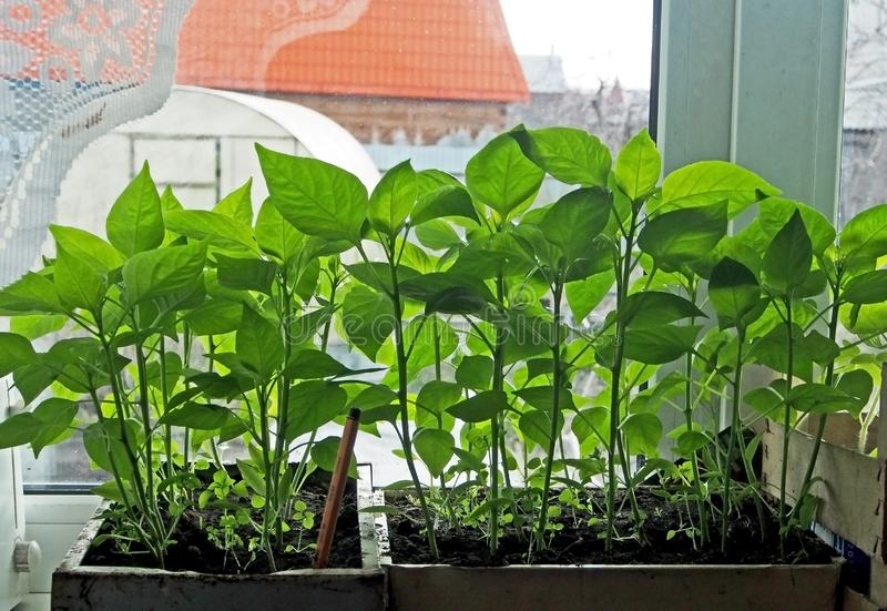 Ready for planting pepper seedlings on the windowsill. In the spring royalty free stock images