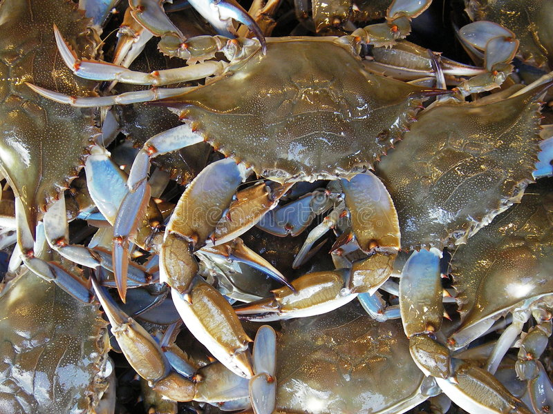 Ready for the Pot!. Photo of blue hardshell crabs that were caught in the Chesapeake Bay in Maryland. These crabs are steamed then served with old bay seasoning royalty free stock photography