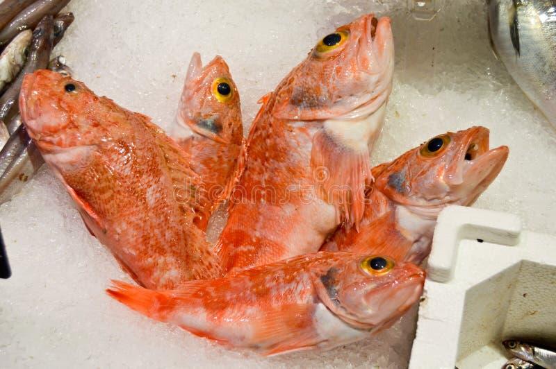 Fresh red fish on ice stock image