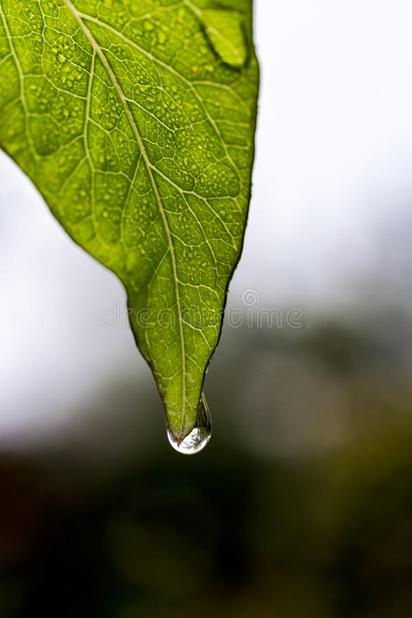 Water ready to drop from a leaf royalty free stock photo