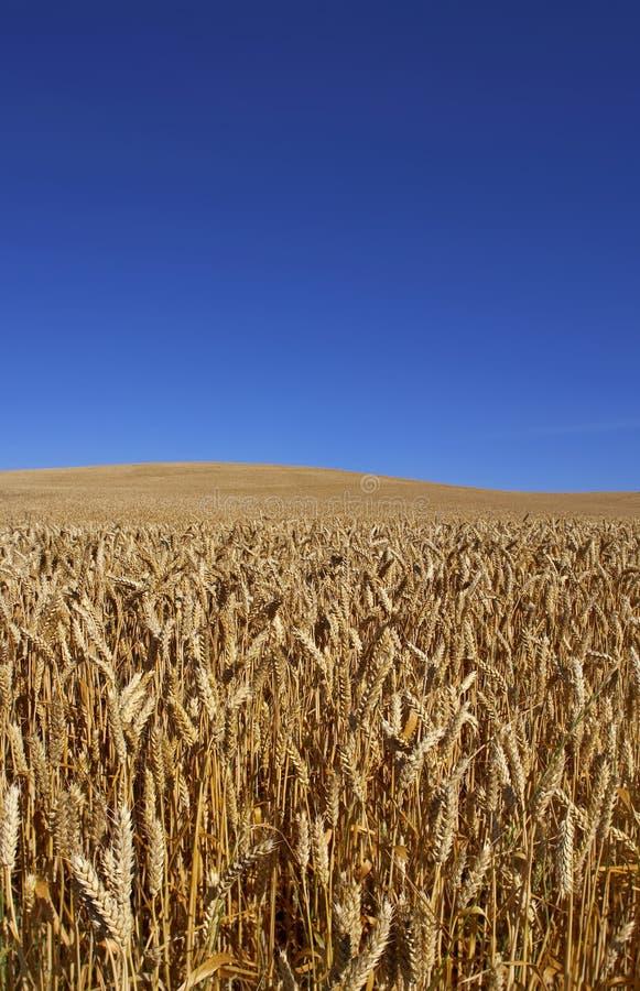 Ready to harvest (very sharp) stock image