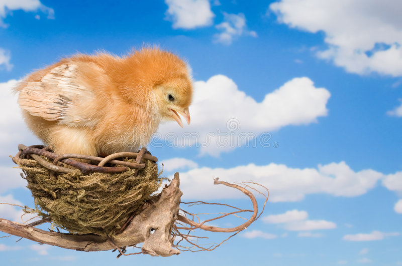 Ready to Leave the Nest. Baby Chicken Making the Decision to Leave the Nest royalty free stock photo