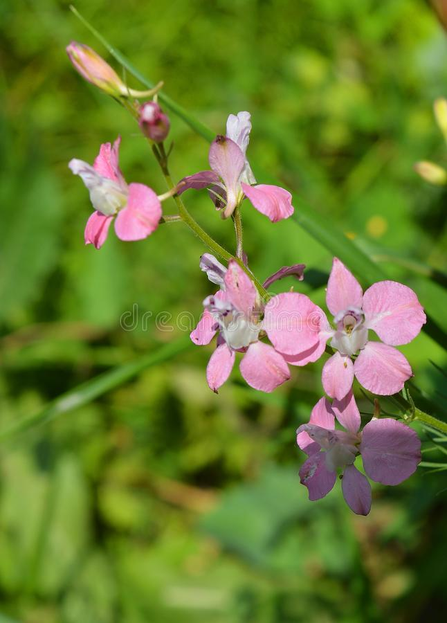 Beautiful pure pink wildflower. The tenderness of a flower. stock photo