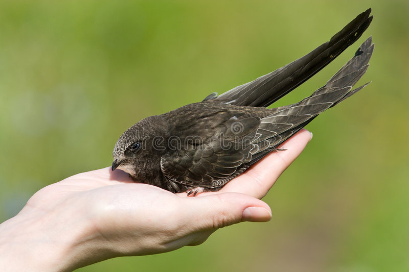 A real bird in the hand. Swift stock image