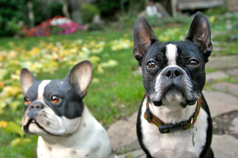 The Real Boston Terrier Stock Photography